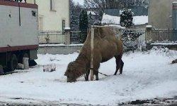 В Тернопольской области цирк из Грузии бросил верблюда посреди местного стадиона