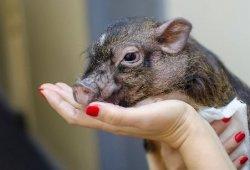 В Одессе уничтожено поголовье на 100 свинофермах из-за вспышки АЧС